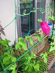バスルームの前のアサガオ 種から育てているので成長が遅れてます。汗