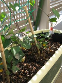 宿根アサガオを水耕栽培で育てます